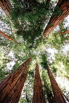 The Redwoods in Northern California by Daniela Safarikova