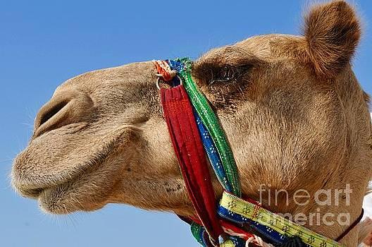 The Regal Camel by Kate Stoupas