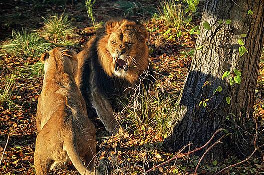 The Royal Roar by Spade Photo