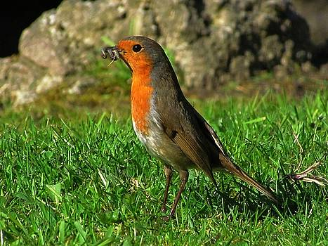 The Robin Came to Call by Andrew Mcdermott