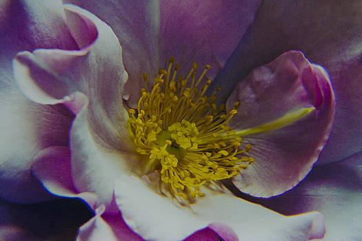 The Rose Bowl by Nabila Khanam
