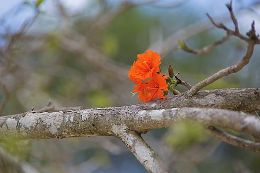 Regina Williams - The Royal Poinciana Tree