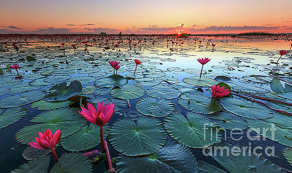 The sea of red lotus, Lake Nong Harn, Udon Thani, Thailand by Noppakun Wiropart