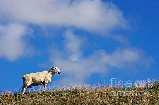 Angela Doelling AD DESIGN Photo and PhotoArt - The sheep on the dike