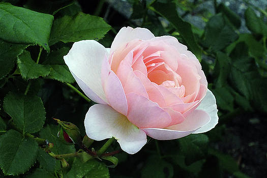 The Shelburne Rose by Bill Morgenstern