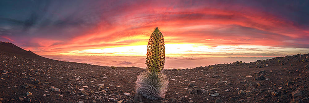 The Silversword by Hawaii Fine Art Photography