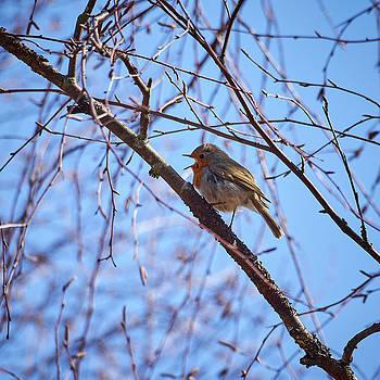 The Singer. European robin by Jouko Lehto
