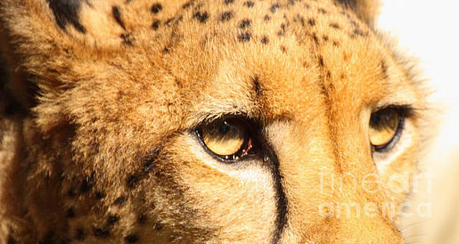 The Soft Eyes Of A Cheetah by Max Allen