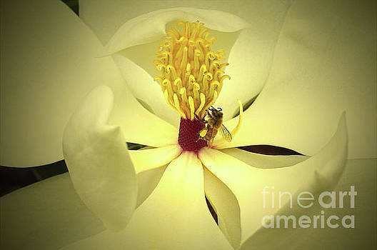 The Southern Magnolia by Kim Pate