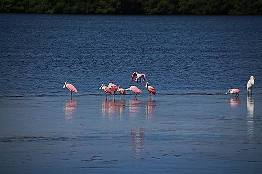 The Spoonbill Legend Lingers I by Michiale Schneider