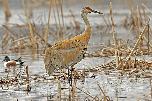 The Spring Sandhill Crane Are Back by Natural Focal Point Photography