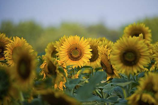 The Sun Flower by George Lovelace
