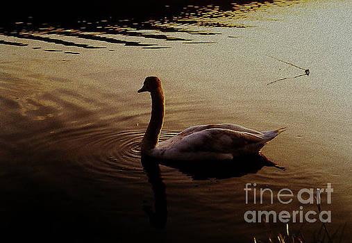 Martin Howard - The Sundown Swan