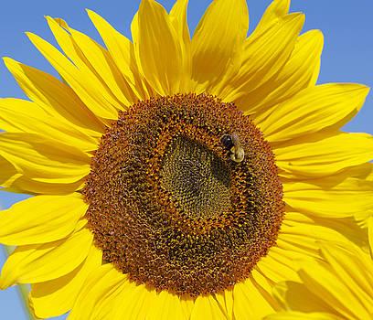 Ramunas Bruzas - The Sunflower