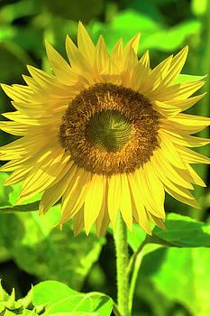 The Sunny Sunflower by Kathy Clark