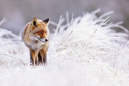 The Thinker - Red Fox in a wintery landscape by Roeselien Raimond