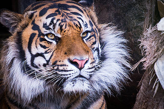 The Tiger by Peak Photography by Clint Easley