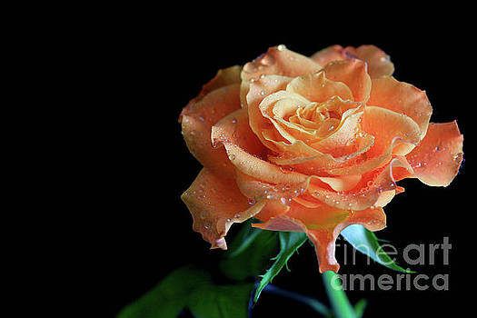 The Touch Of A Rose by Tracy Hall