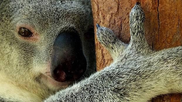 The Tree Huger Australian Koala by Sandra Sengstock-Miller
