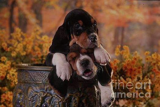 The Two Musketeers, Pups by Alan and Sandy Carey