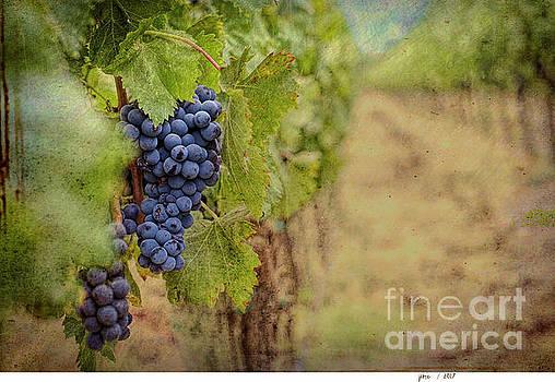 The Vineyard by Jim Hatch