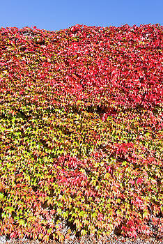 Ramunas Bruzas - The Wall Of Leaves