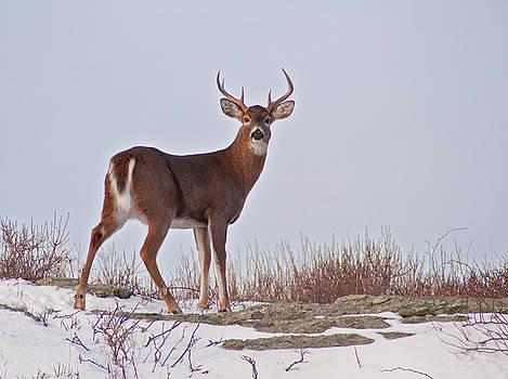 The Watchful Deer by Nancy De Flon