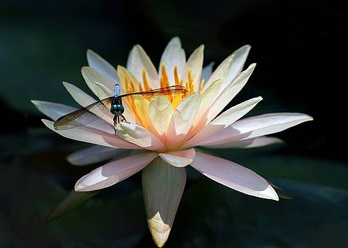 Sabrina L Ryan - The Water Lily and the Dragonfly
