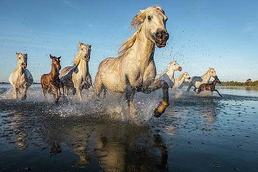 The White Horses of the Camargue by Mike Walker
