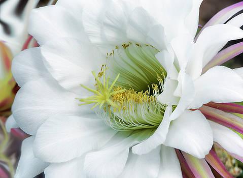 Saija Lehtonen - The White Night Bloomer
