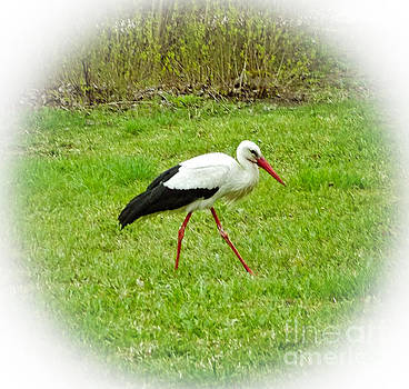 The white stork looking for the branches by Algirdas Lukas