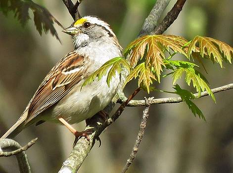 The White Throated Sparrow by Lori Frisch