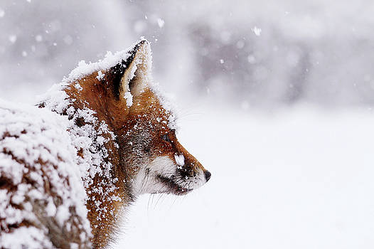 The WinterWatcher - Red Fox in the Snow by Roeselien Raimond