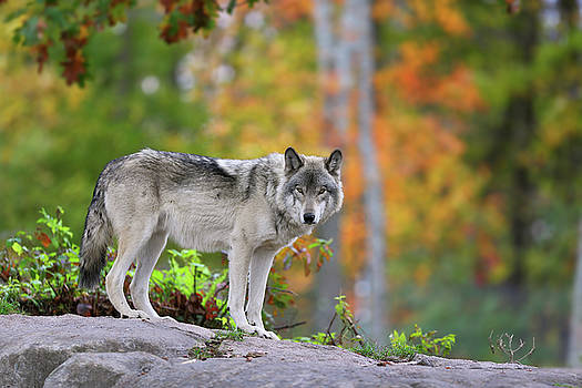 The wolf. by Denis Dumoulin