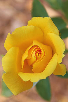 The Yellow Rose by Dawn Davis