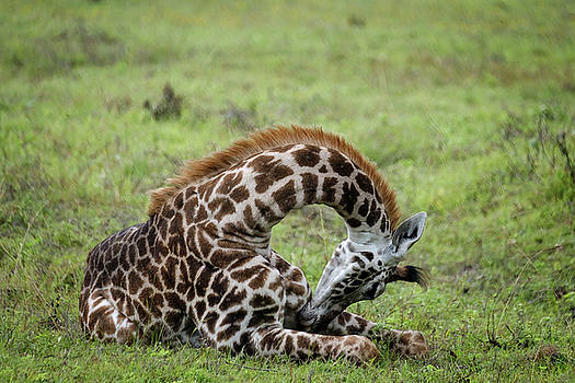 The Young Giraffe by Mary Lee Dereske