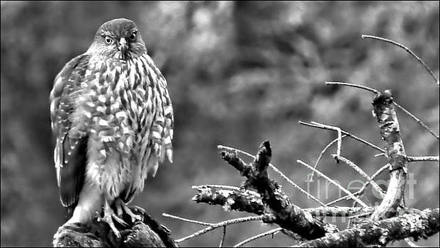 The Young Hawk BW by Julia Hassett