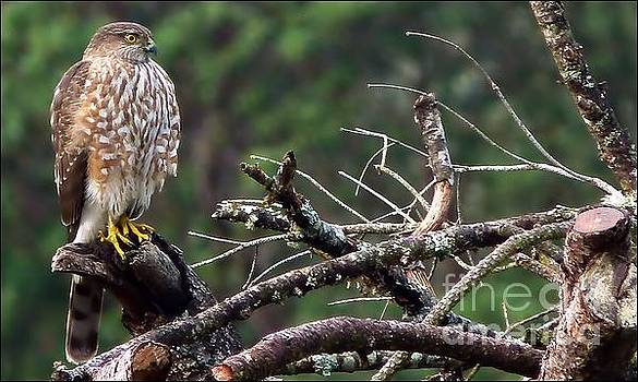 The Young Hawk by Julia Hassett