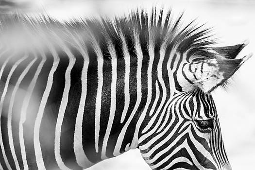 The Zebra 2 by Peak Photography by Clint Easley