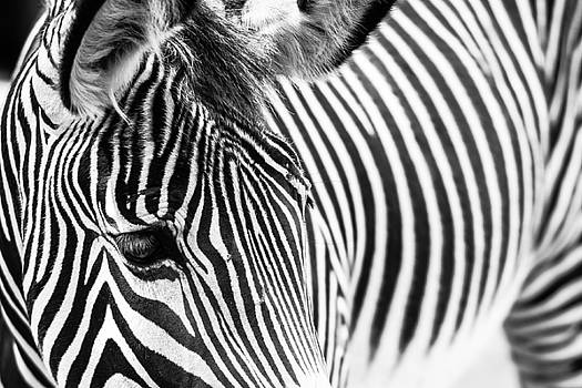 The Zebra by Peak Photography by Clint Easley