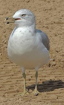 Belmont Beach Bird by Todd Sherlock