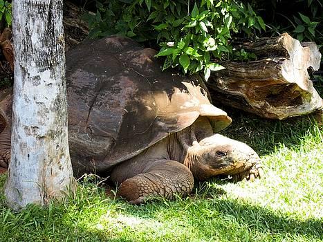 Thinking Turtle  by Diamond Jade