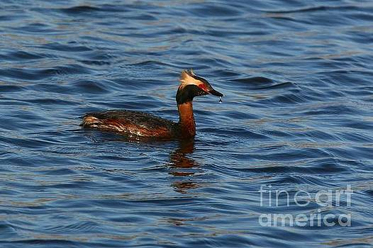 Thirsty Horned Grebe by Tony Lee