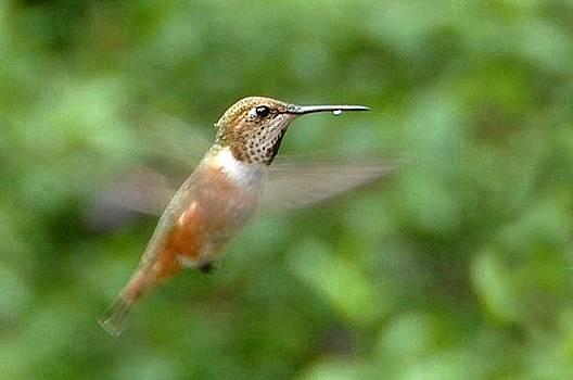 Bill Kellett - Thirsty Humming Bird