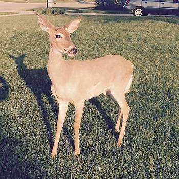 This #deer Followed Me On My Walk Today by Pete Michaud