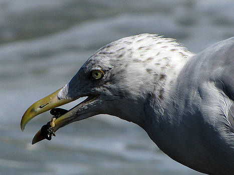 This gull's got mussels by Jake Danishevsky