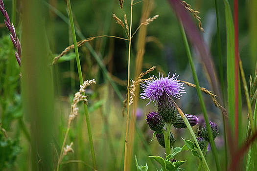 Thistle Blossom in Tall Grass by Mary Lee Dereske