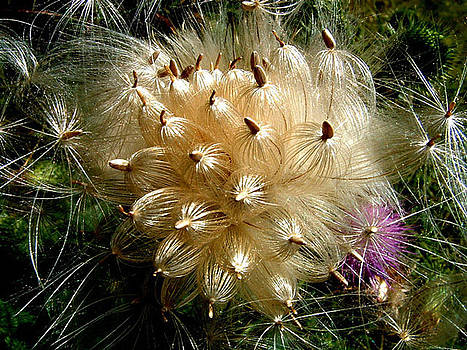 Thistle by Don Whipple