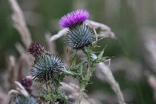 Thistle by Francesco Scali