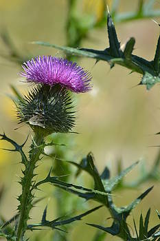 Thistle Spikes by Robin White